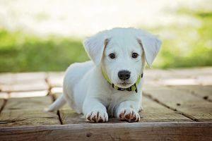 Imagen de un cachorro de perro blanco
