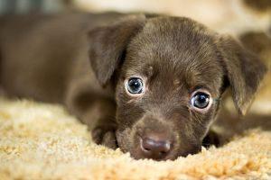 Imagen de un cachorro de perro marrón