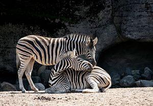 Imagen de dos cebras