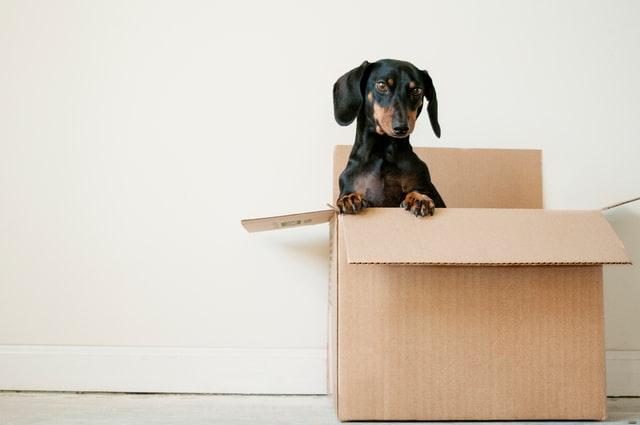 perro salchicha dentro de una caja de cartón en un fondo blanco